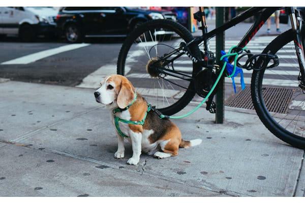 Beagle on a Leash near a bike