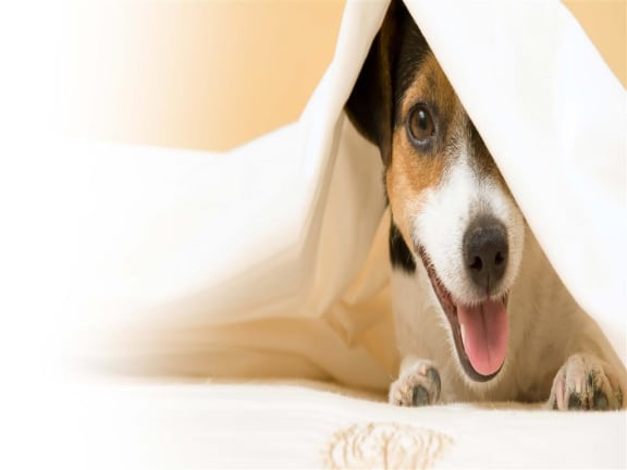 Dog Under Covers at Via Seaport Residences, Boston, MA
