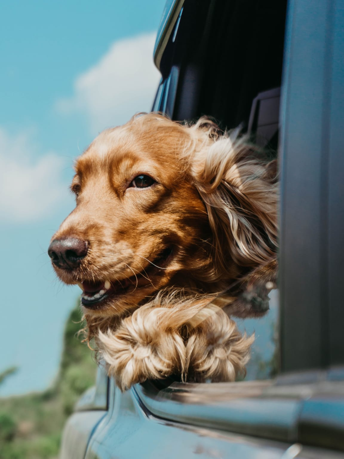 Dog with head out of car window near Lakeview at Superstition Springs in Mesa, AZ