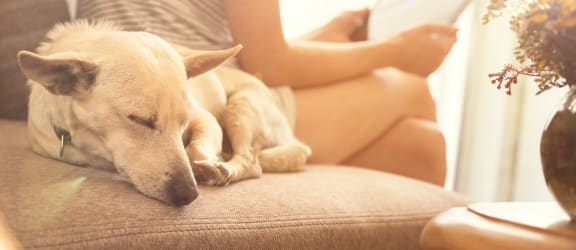 Sleeping dog on couch with owner, Wilber School Apartments, Massachusetts