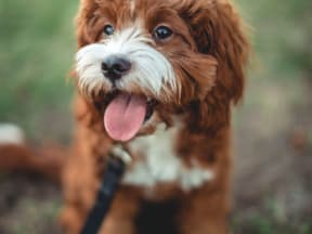 Brown with white puppy sitting and waiting patiently with tongue out on a walk