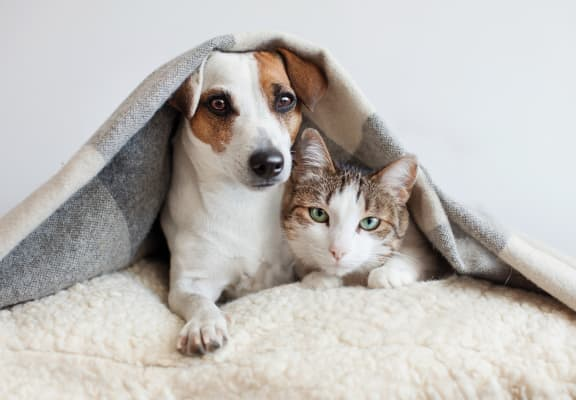 Cat and Dog on Pillow Under Blanket