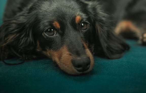 Lifestyle Image of cute black and brown dog